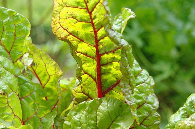 Cviklové listy sú nedocenenou potravinou